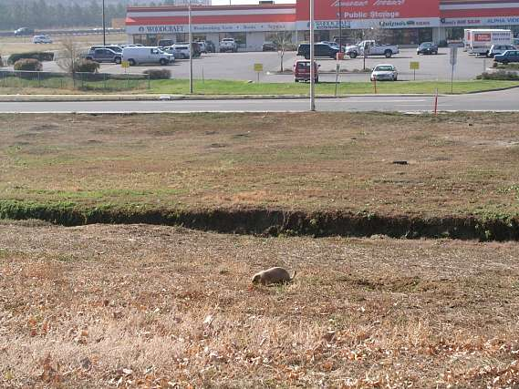 A prairie dog in a field in front of a store.